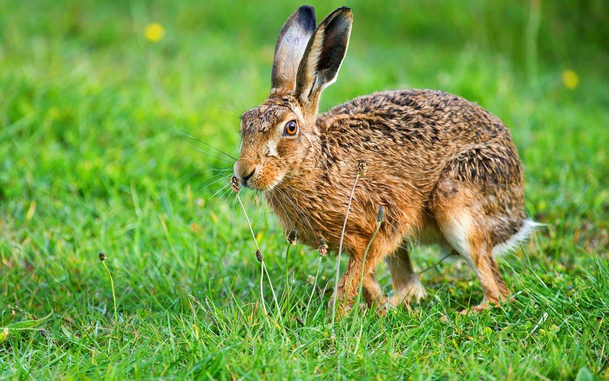 покажите мне зайца -беляка и зайца-русака картинки