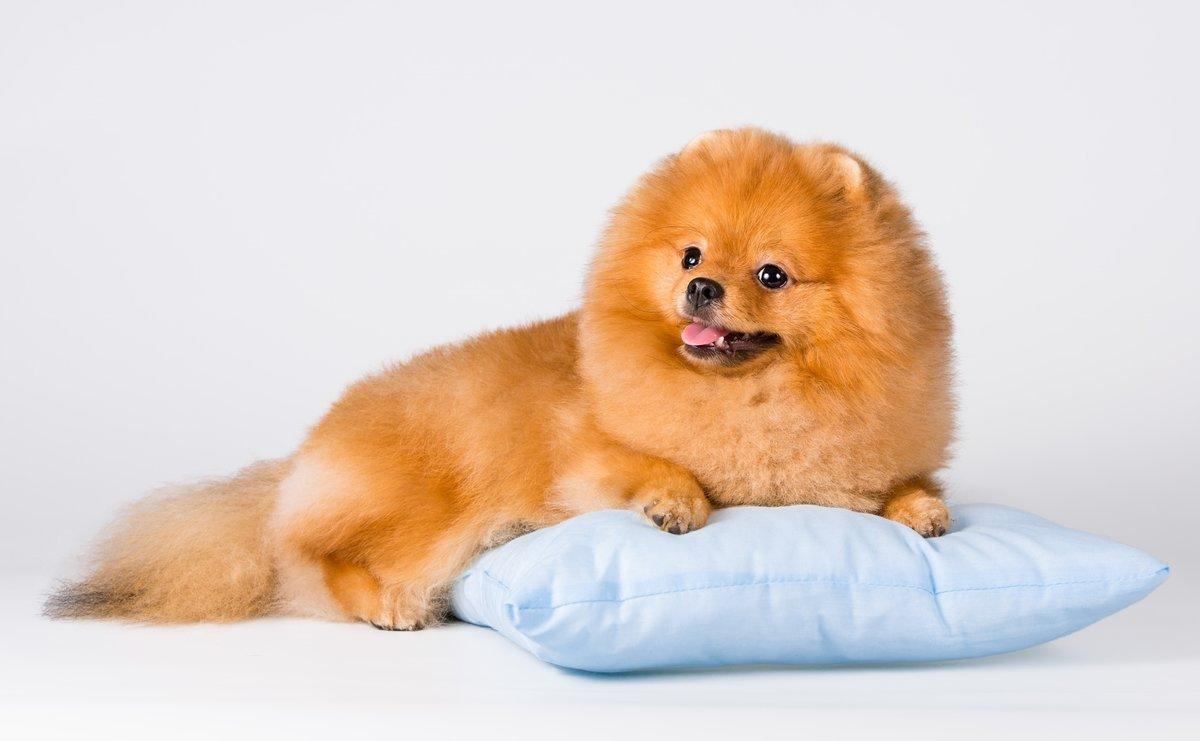 помог красивые фото собак шпица примером подруги