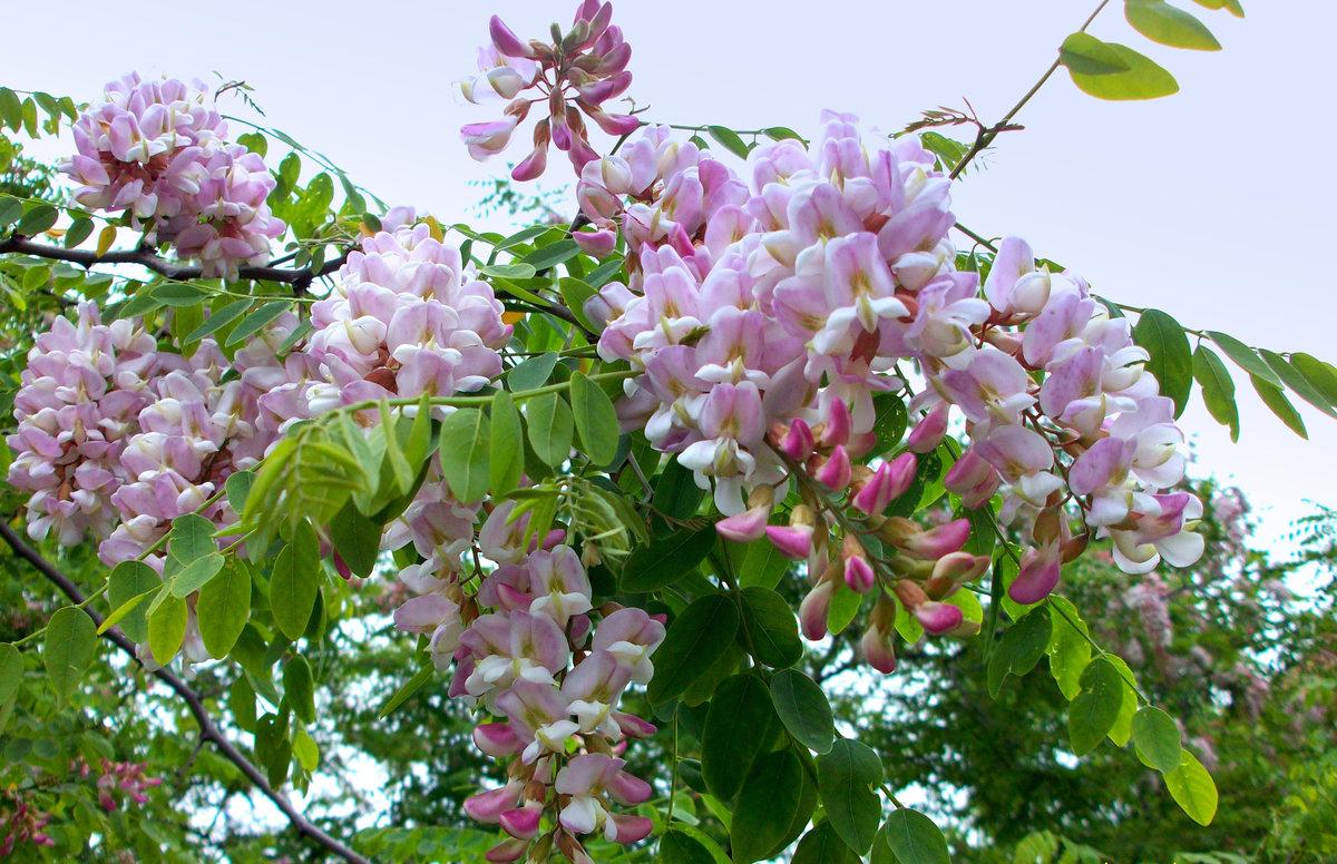 Фото акации цветущей