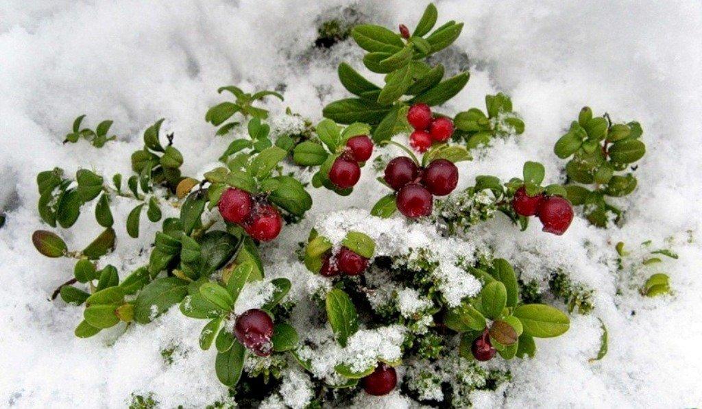 рисунок из ягод на снегу фото только