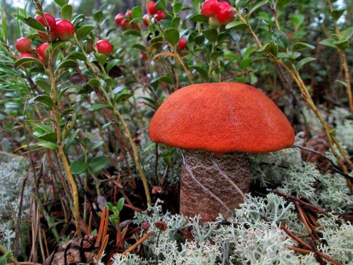 Картинки грибы и ягоды карелии