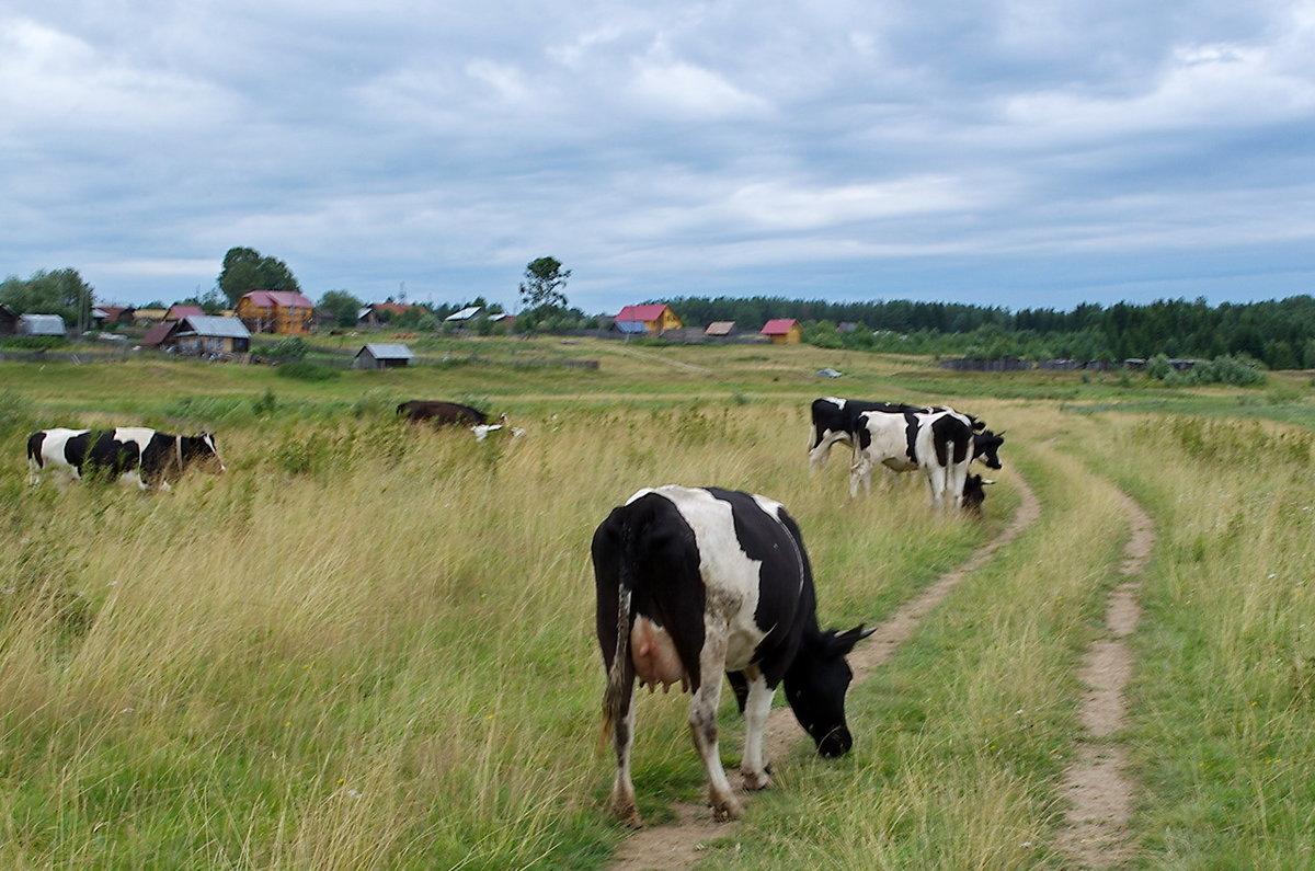 того, картинка деревенские коровы для стомы