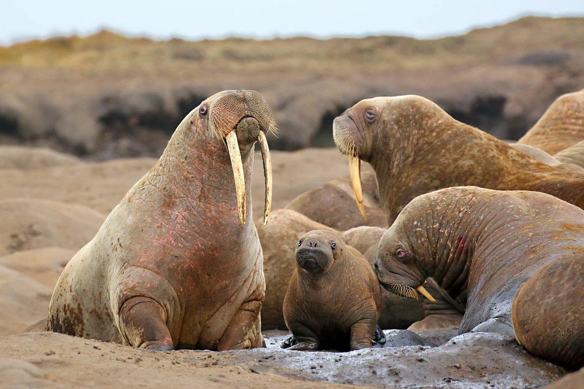 Семья моржей картинка