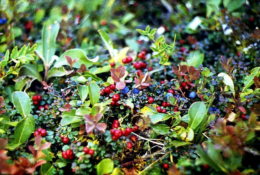 картинка в лесу растут ягоды рецепт нежной