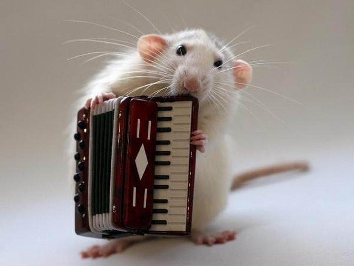 Картинки, прикольные картинки с крысами и мышами