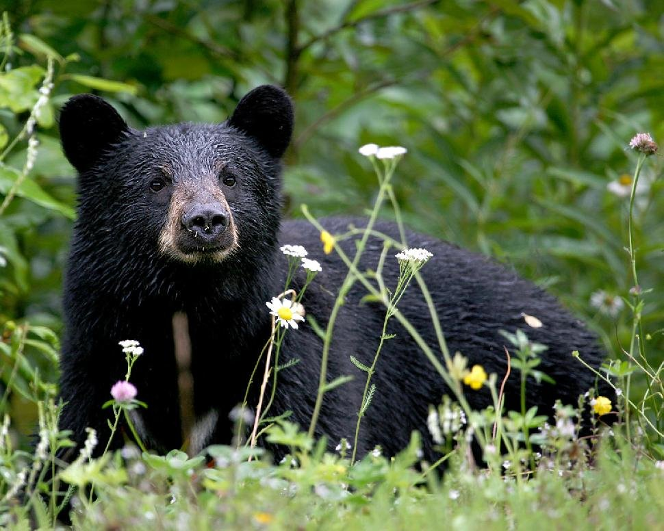 Марихуана черные медведи общение марихуана