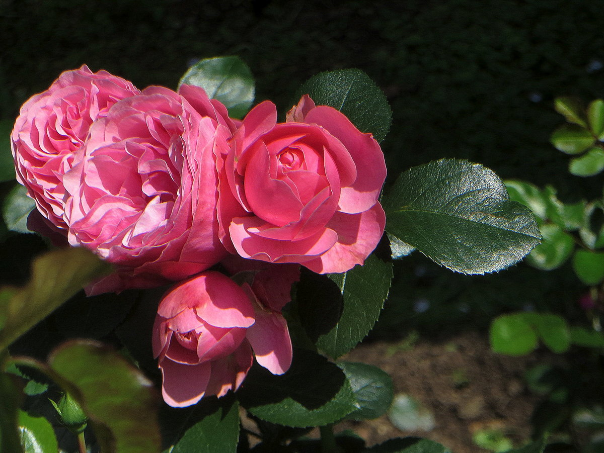роза леонардо да винчи фото описание фотографы