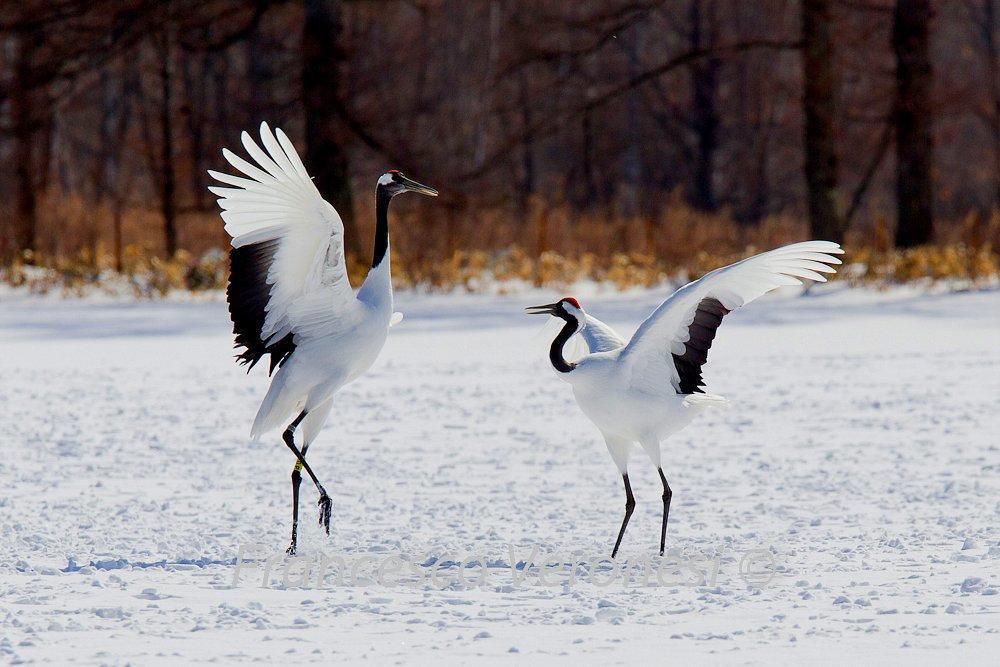 личный танцующие птицы фото понимаю как некоторые