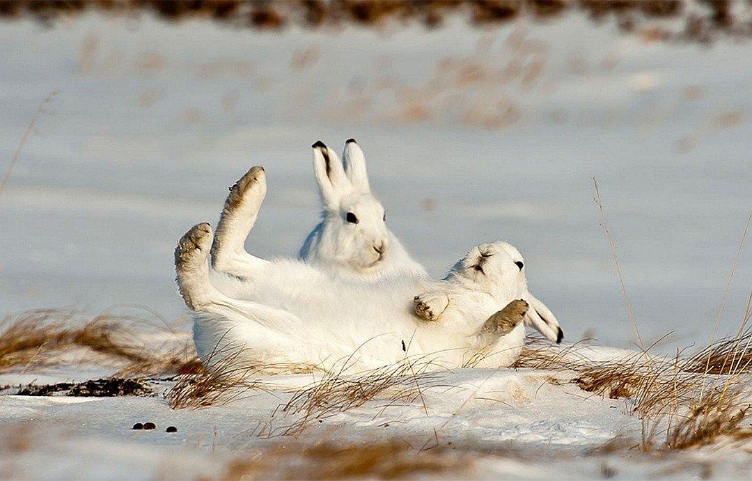 Излюбленные для лежек зайцев-беляков угодья и даже просто места Ð¸Ñ Ð»ÐµÐ¶ÐµÐº - из года в год одни и те же.