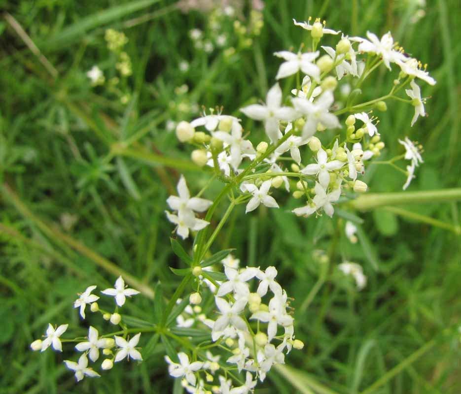 Сорняк с белыми цветочками фото и названия