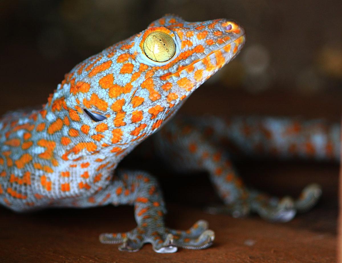 Картинки геккон токи