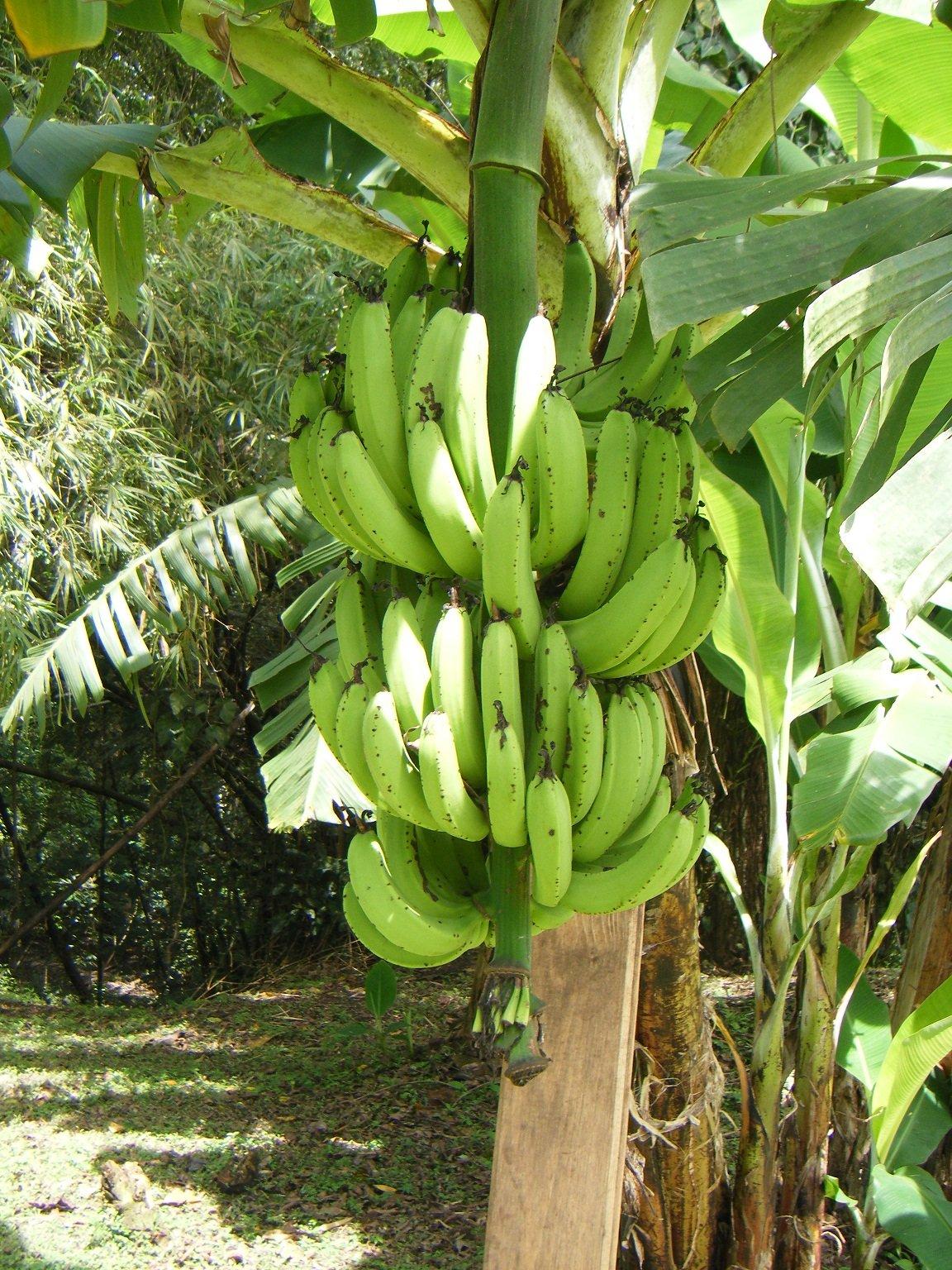 бананы в природе фото узнать, что женатый