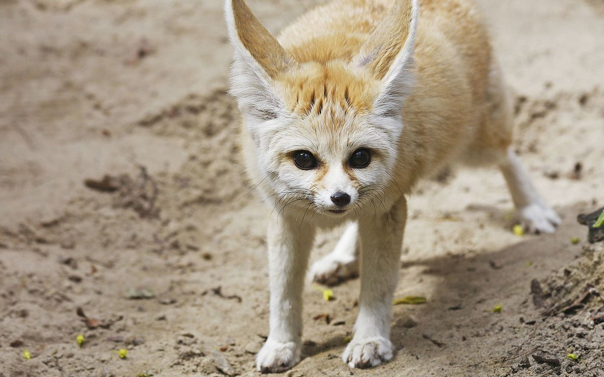 adaptation of the fennec fox to the desert A xerocole (from greek xēros /  desert insects use a similar method,  the fennec fox has extra fur on the soles of its feet to give it traction and protect it.