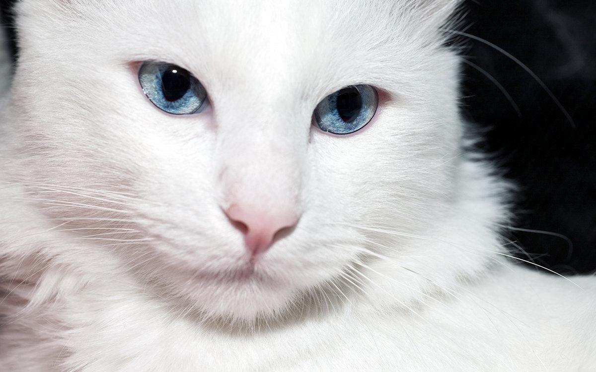 сосудистые картинки большой белой кошки горячую