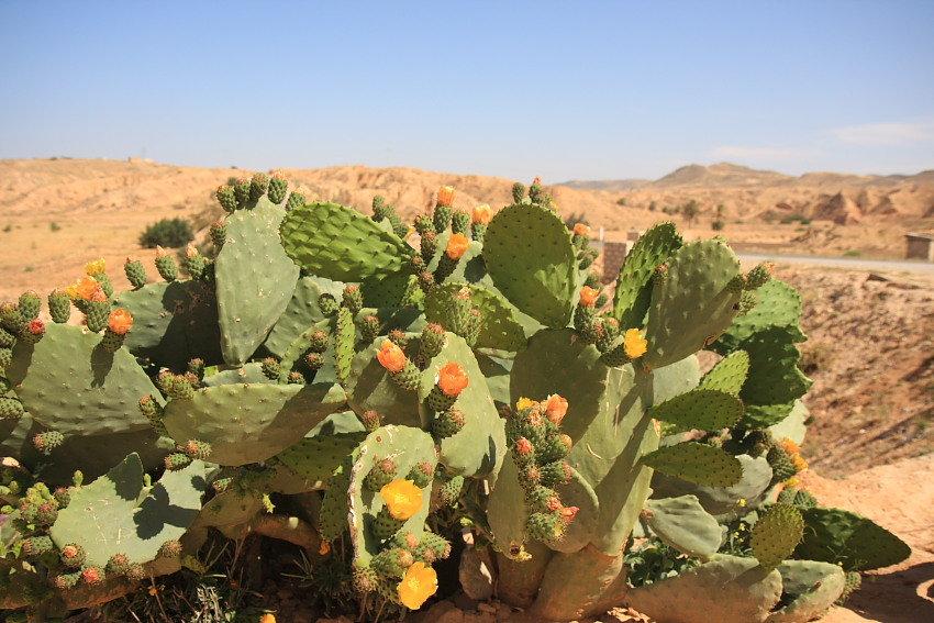sahara desert plants - 850×567