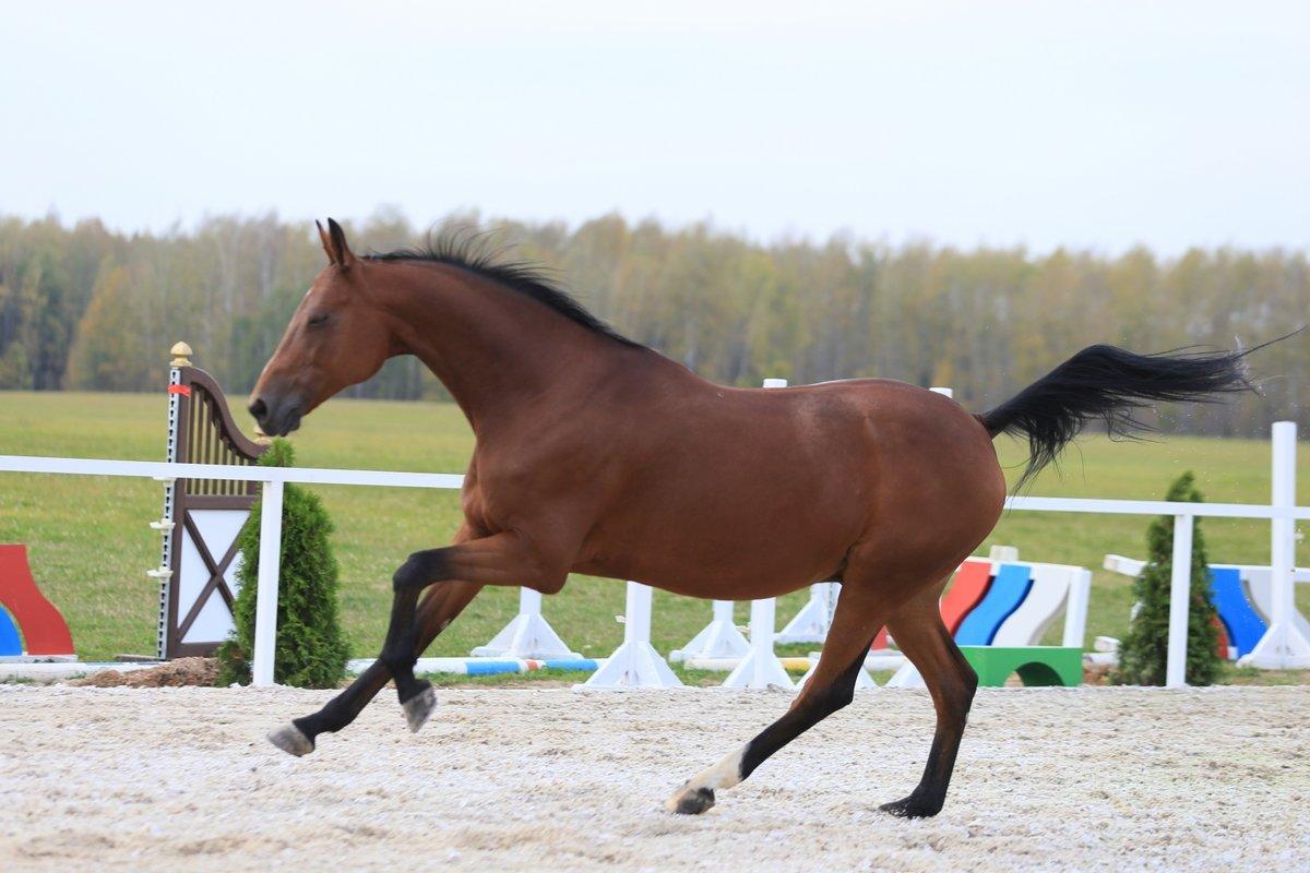 Картинки лошадей караковой масти