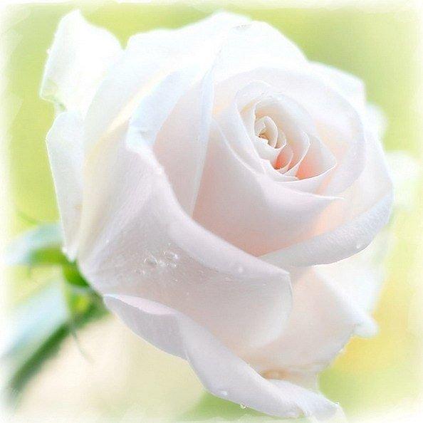 Днем рождения, открытки с днем рождения для кати белые розы