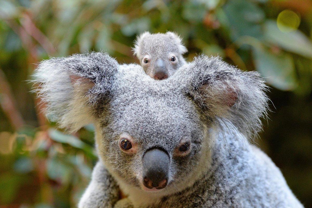 Baby Koala Wallpaper 57 Images Card From User Bonaquaone1 In