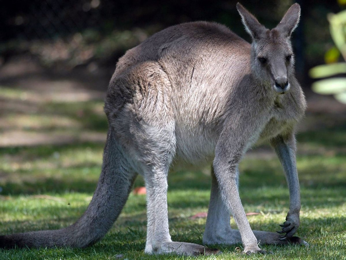 фотографы кенгуру фото животного этом происходит