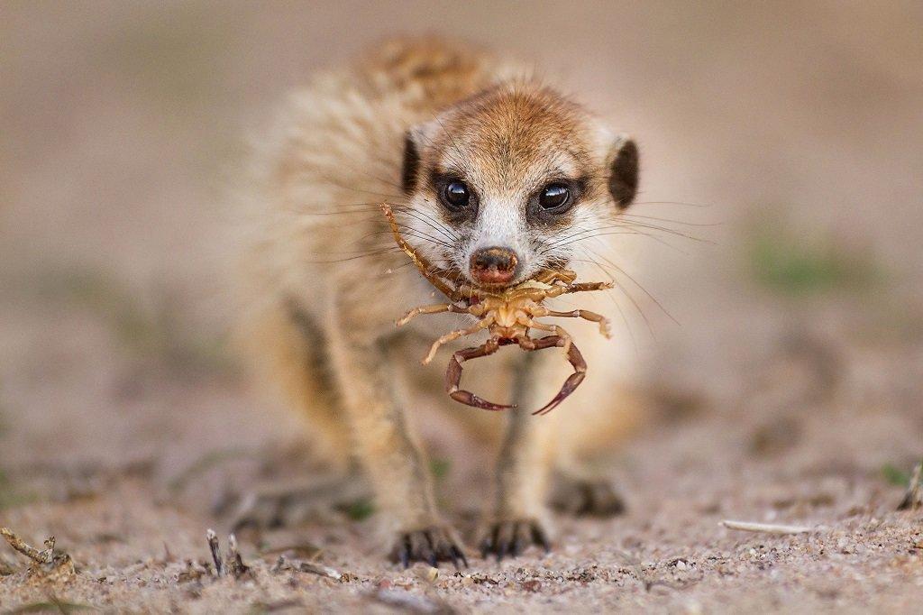 Смешные картинки мангустов
