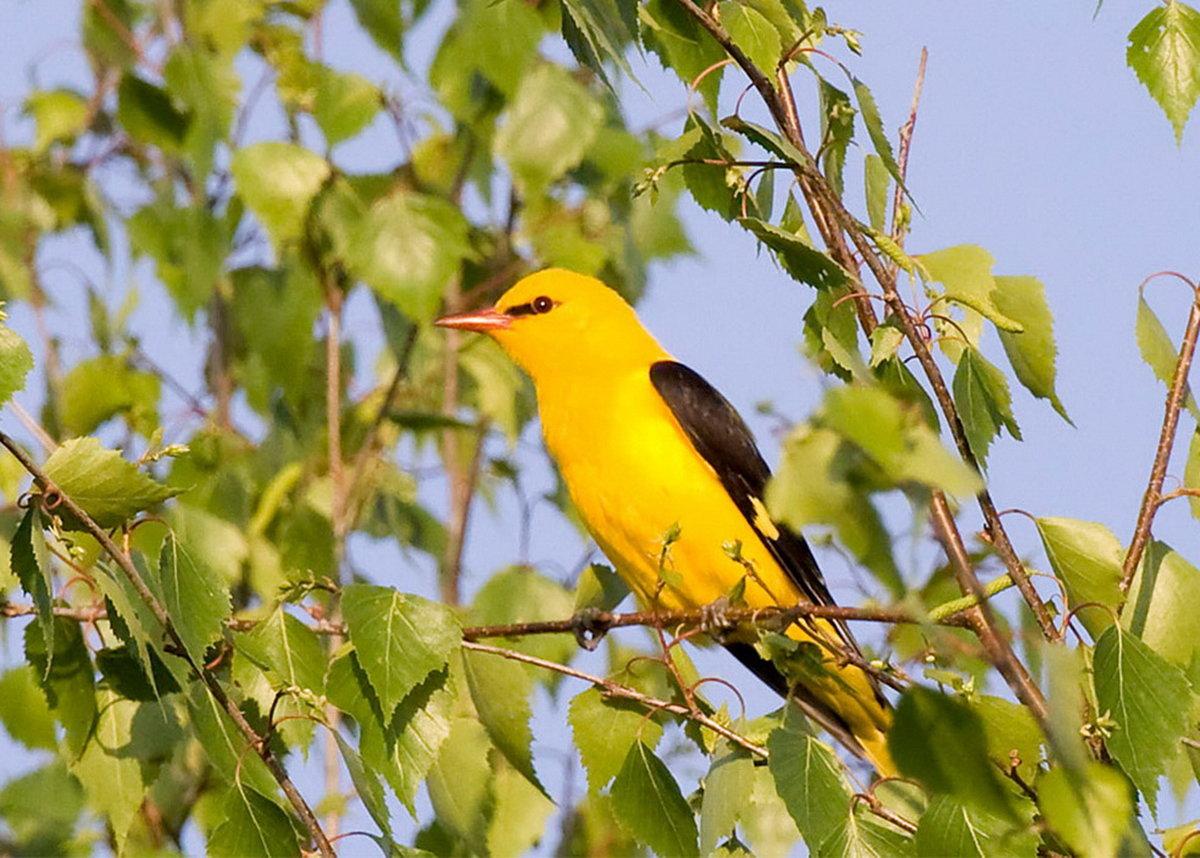 Иволга картинка птицы