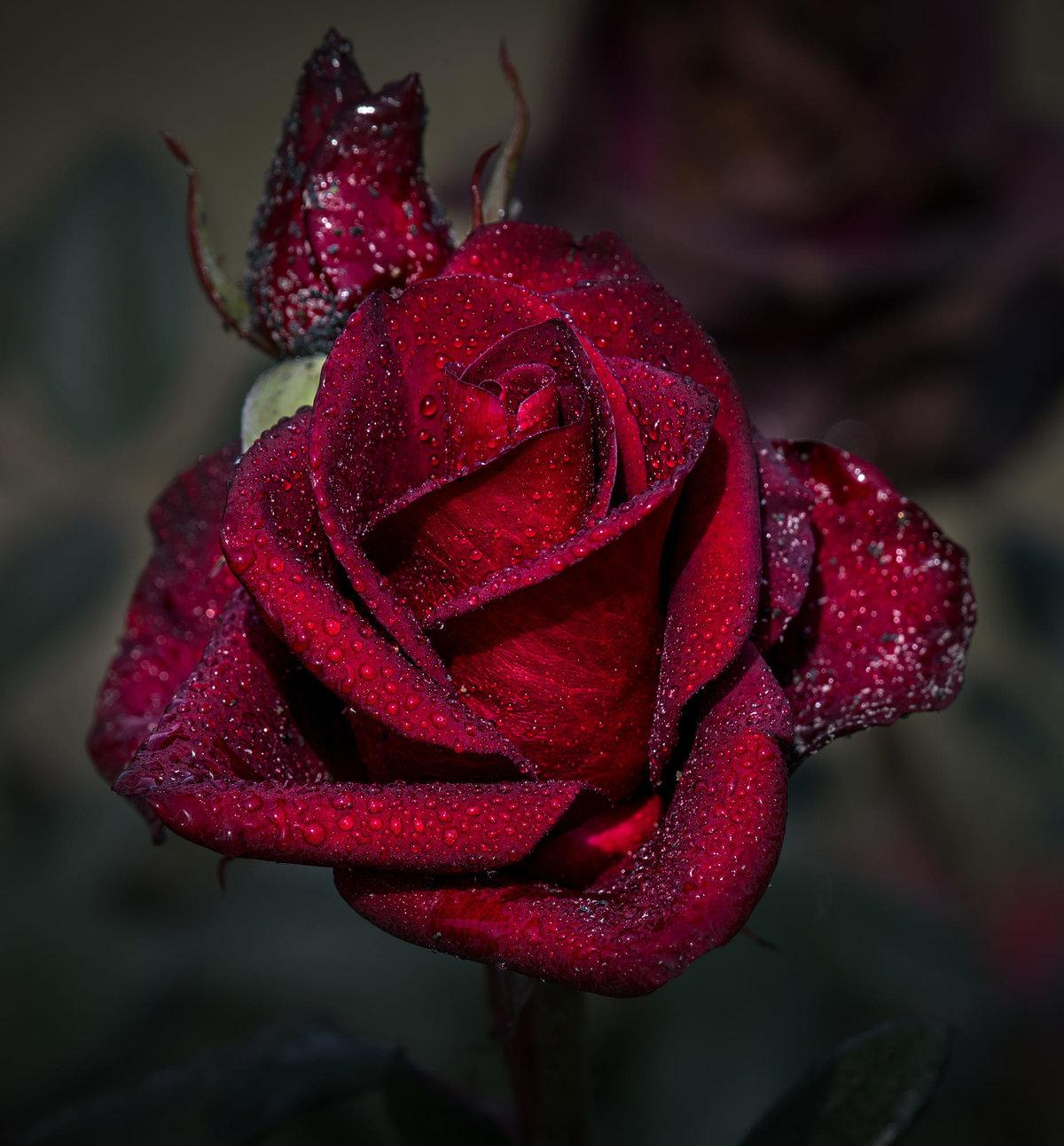 Открытка темные розы, лету для