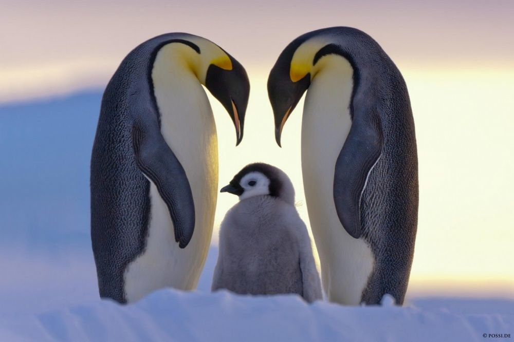Пингвины картинки красивые, скучаю тебе любимый