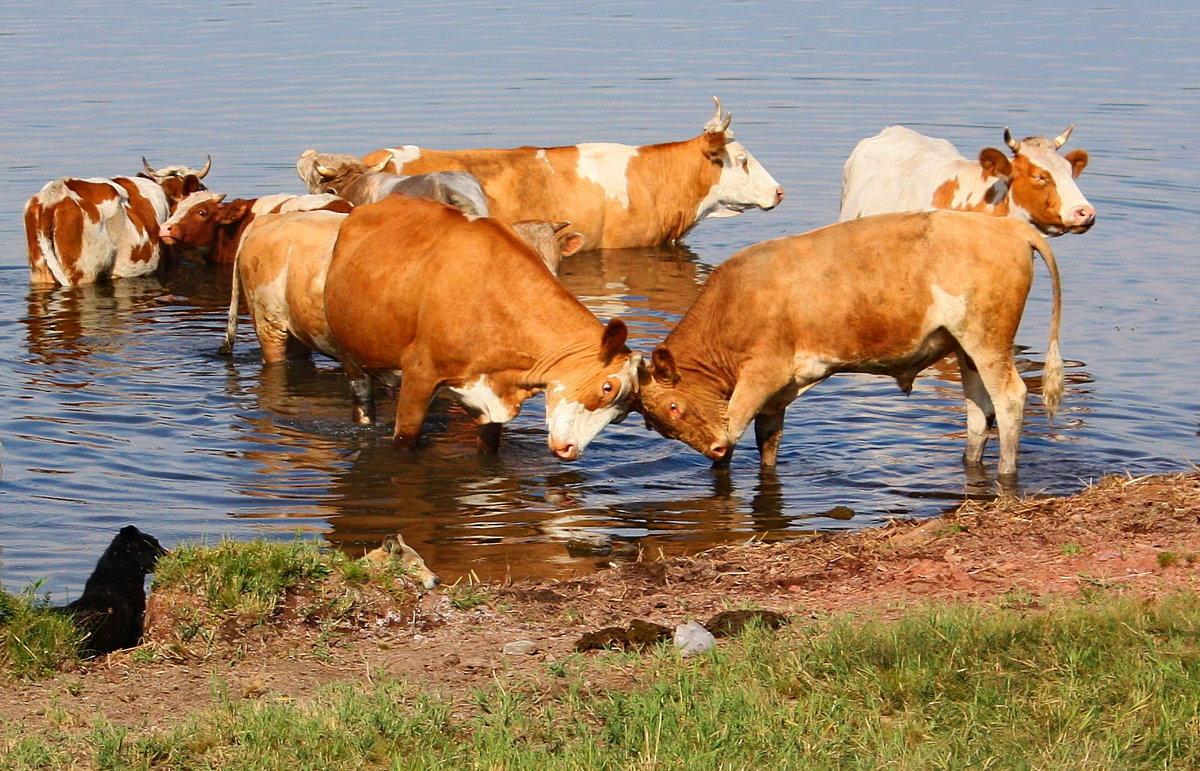 вам картинки коров в воде костенко