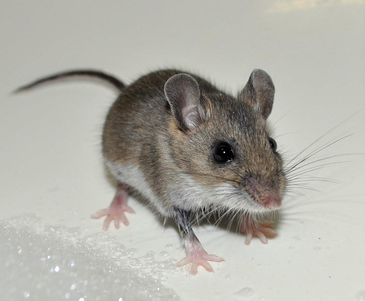 Мыши картинка, мой