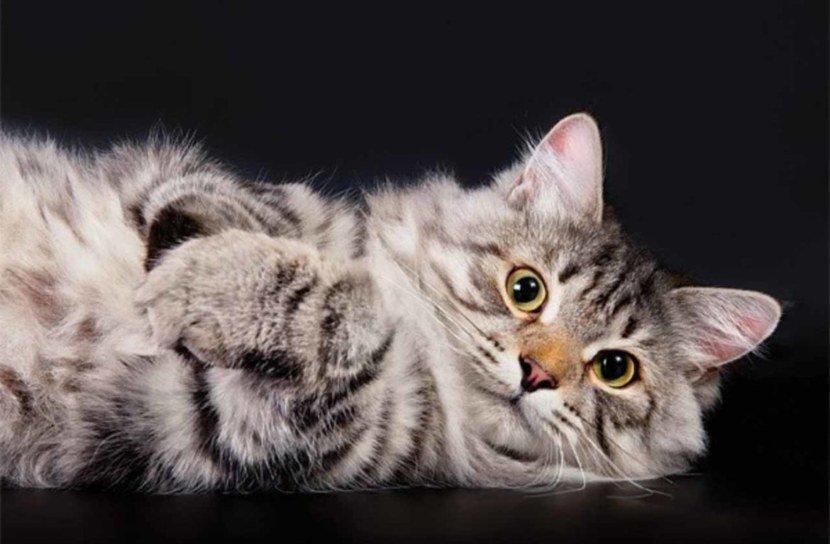 Будучи родом из Урала, сибирская кошка долгое время называлась буÑарской. Ðта порода практически не имеет недостатков для дома кроме уÑода за шерстью.