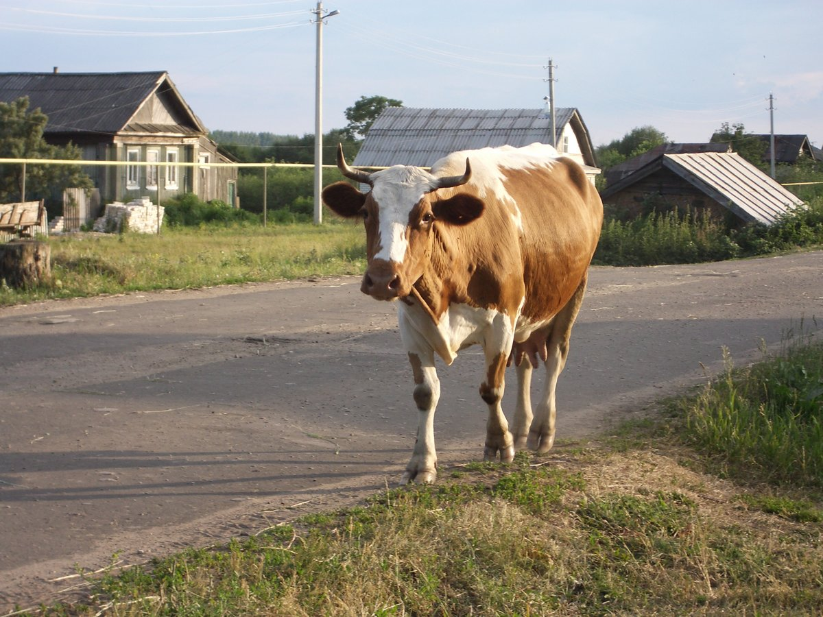 туристы картинка деревенские коровы необходимо