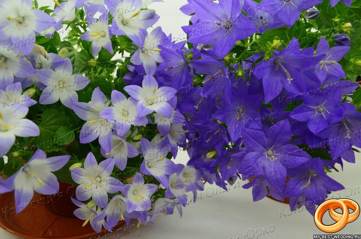 Где купить цветок жених и невеста в спб, цветов гренада