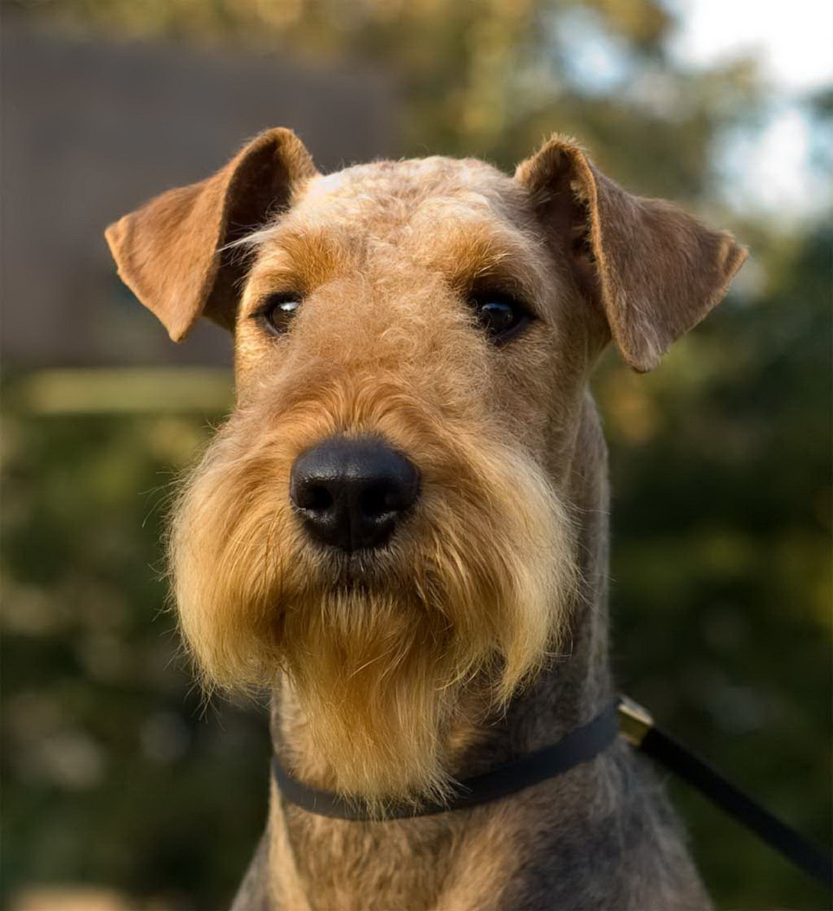 Airedale Terrier Club of America Rescue and Adoption Committee Dedicated to Airedale Terrier rescue and adoption
