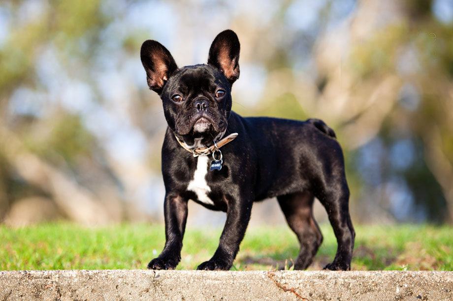 французская собака фото может