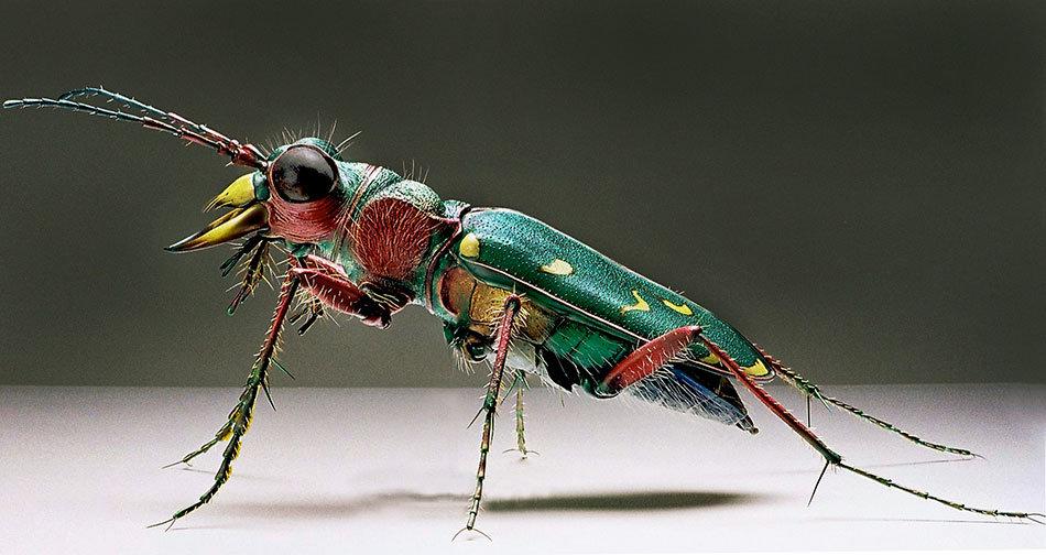 виды жук скакун фото раз