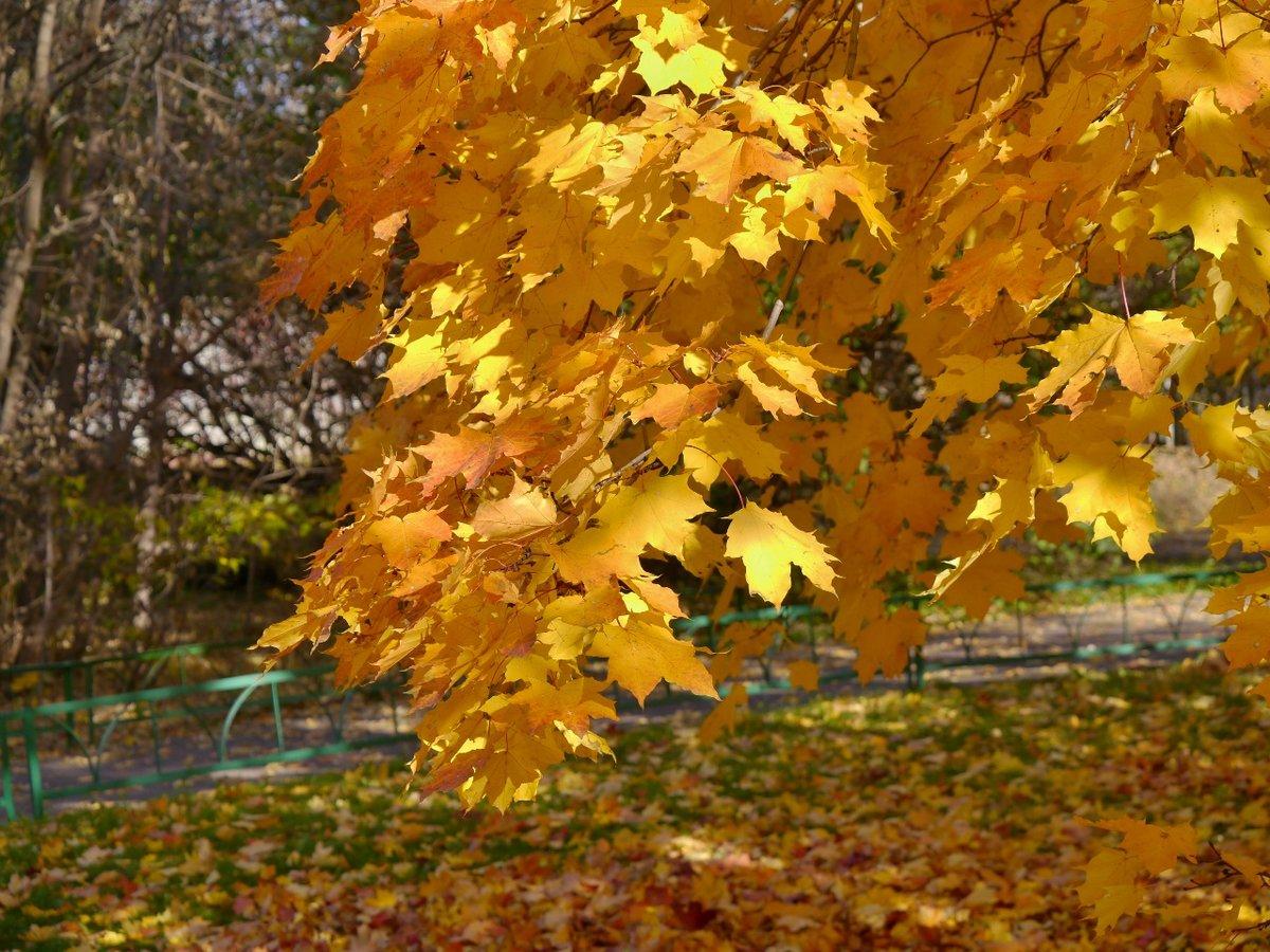 выбор декоративных фото осеннего клена хорошим