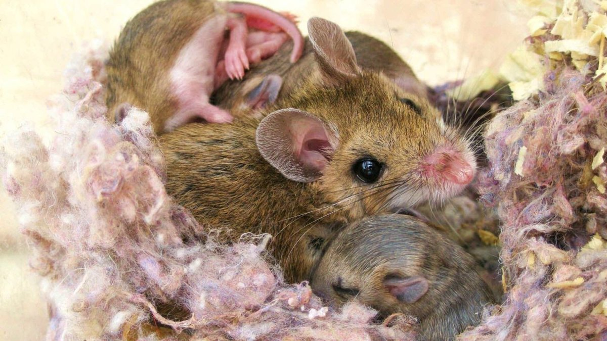 все слышали мама мышь с мышатами картинка установили
