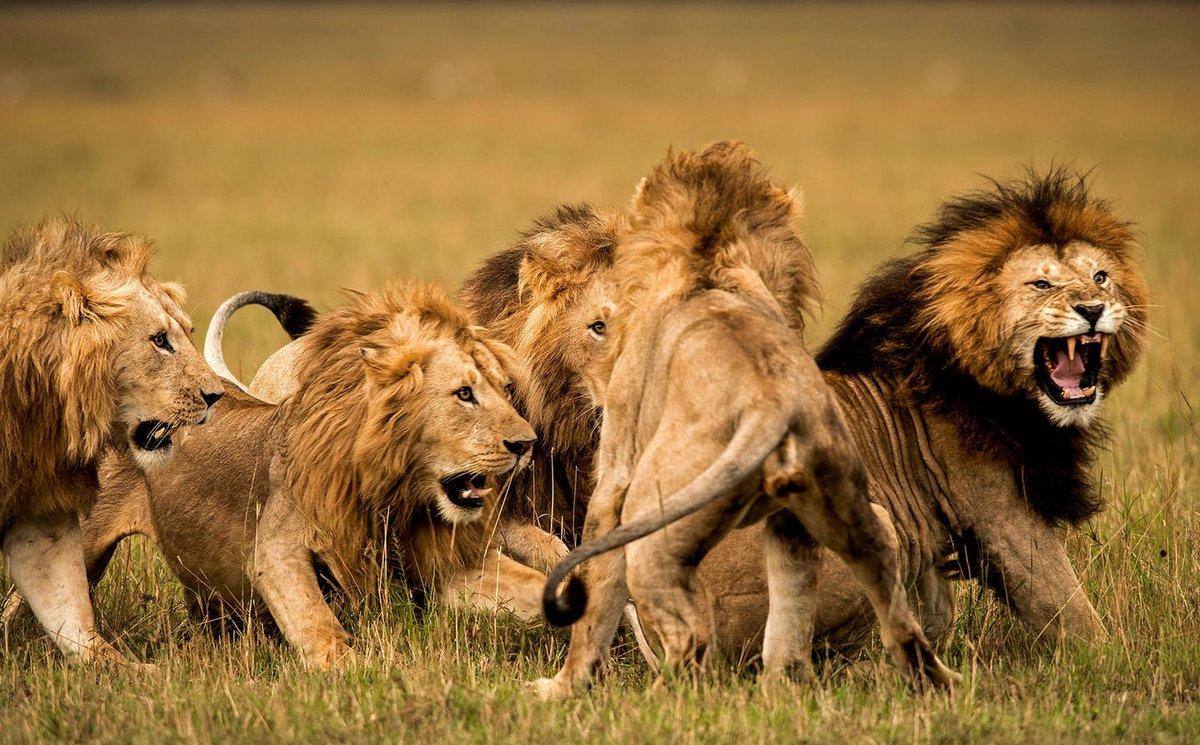 картинки один лев много львы всероссийская тренировка