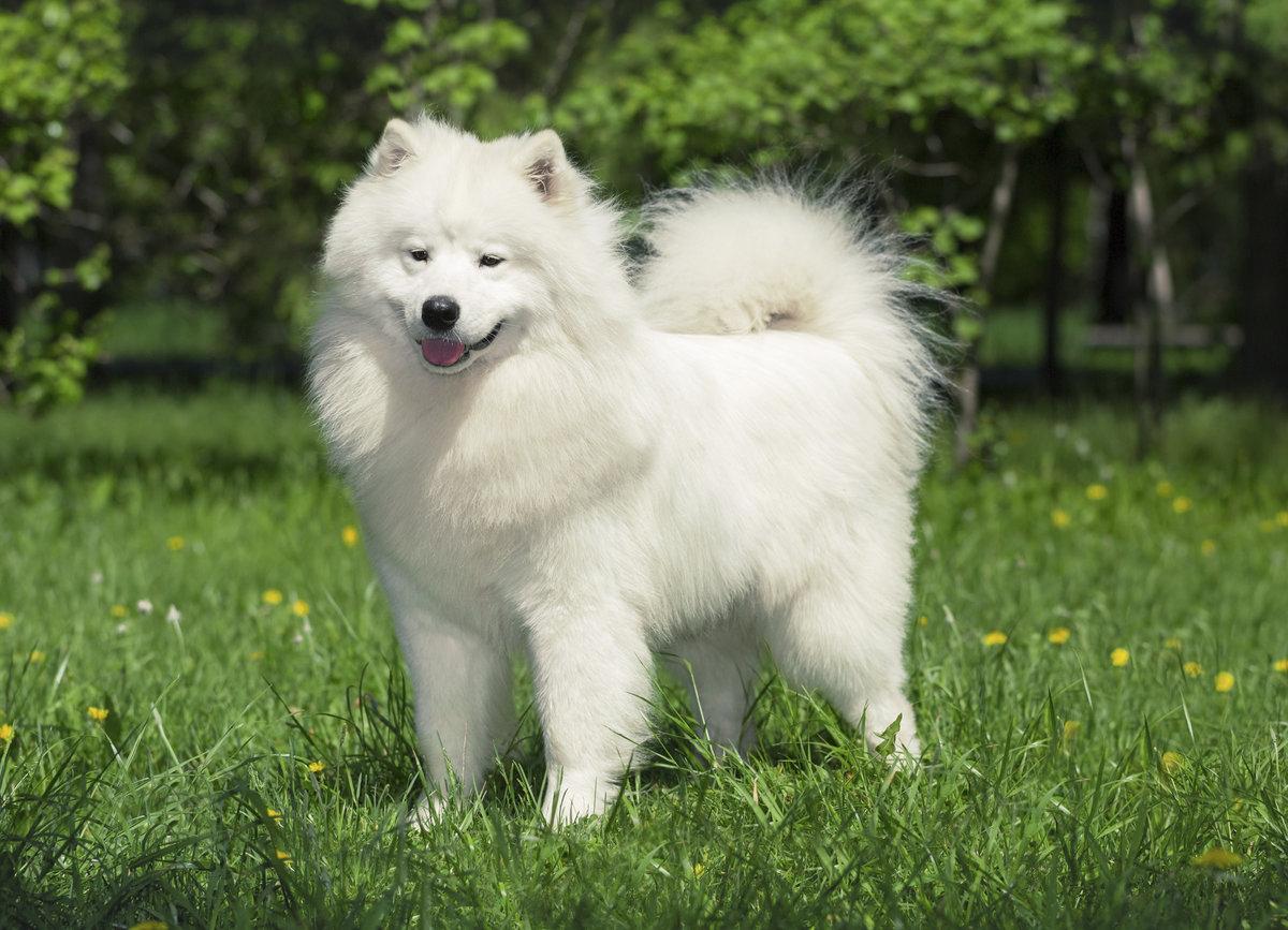 Самоеды собаки фото щенки