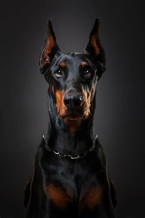 Доберман – это немецкая популярная порода. Свое название она получила в честь первого заводчика – Карлоса Доберманна.