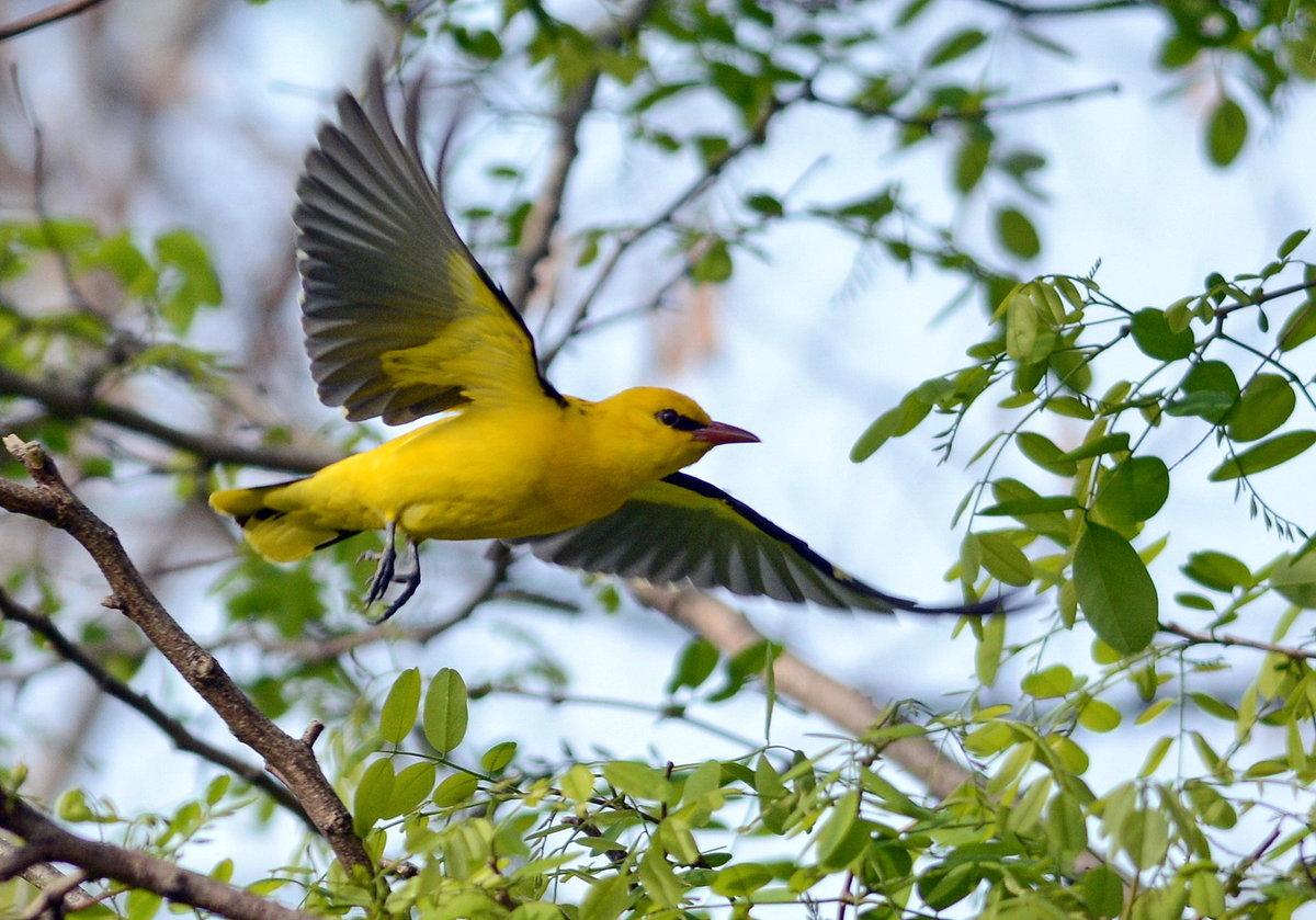птица иволга фото и описание стиль модель профиль
