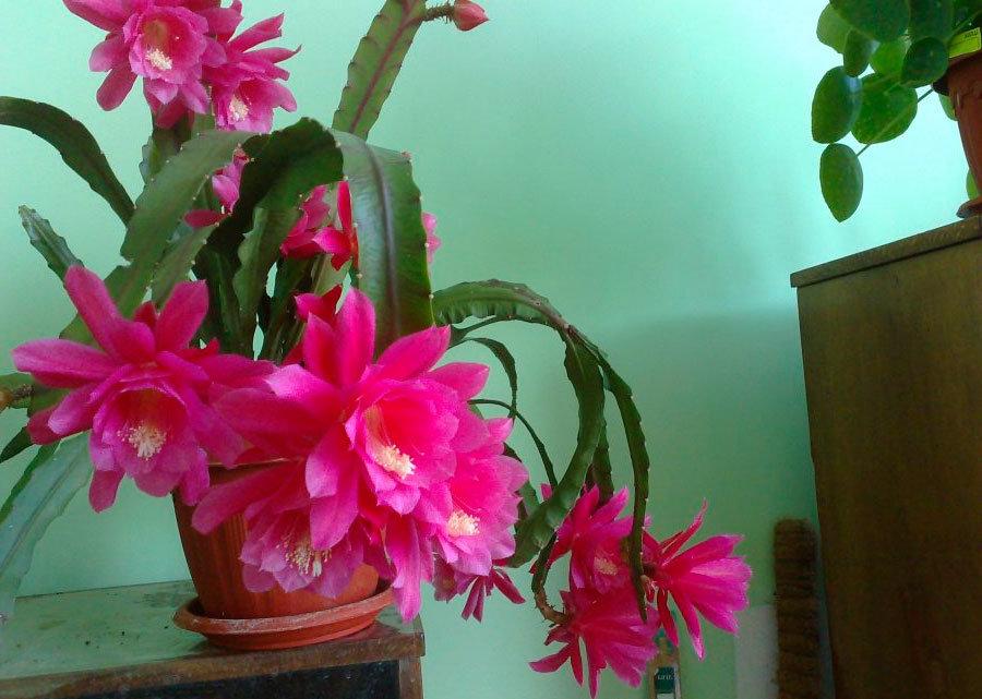 лесные кактусы фото и названия цвета
