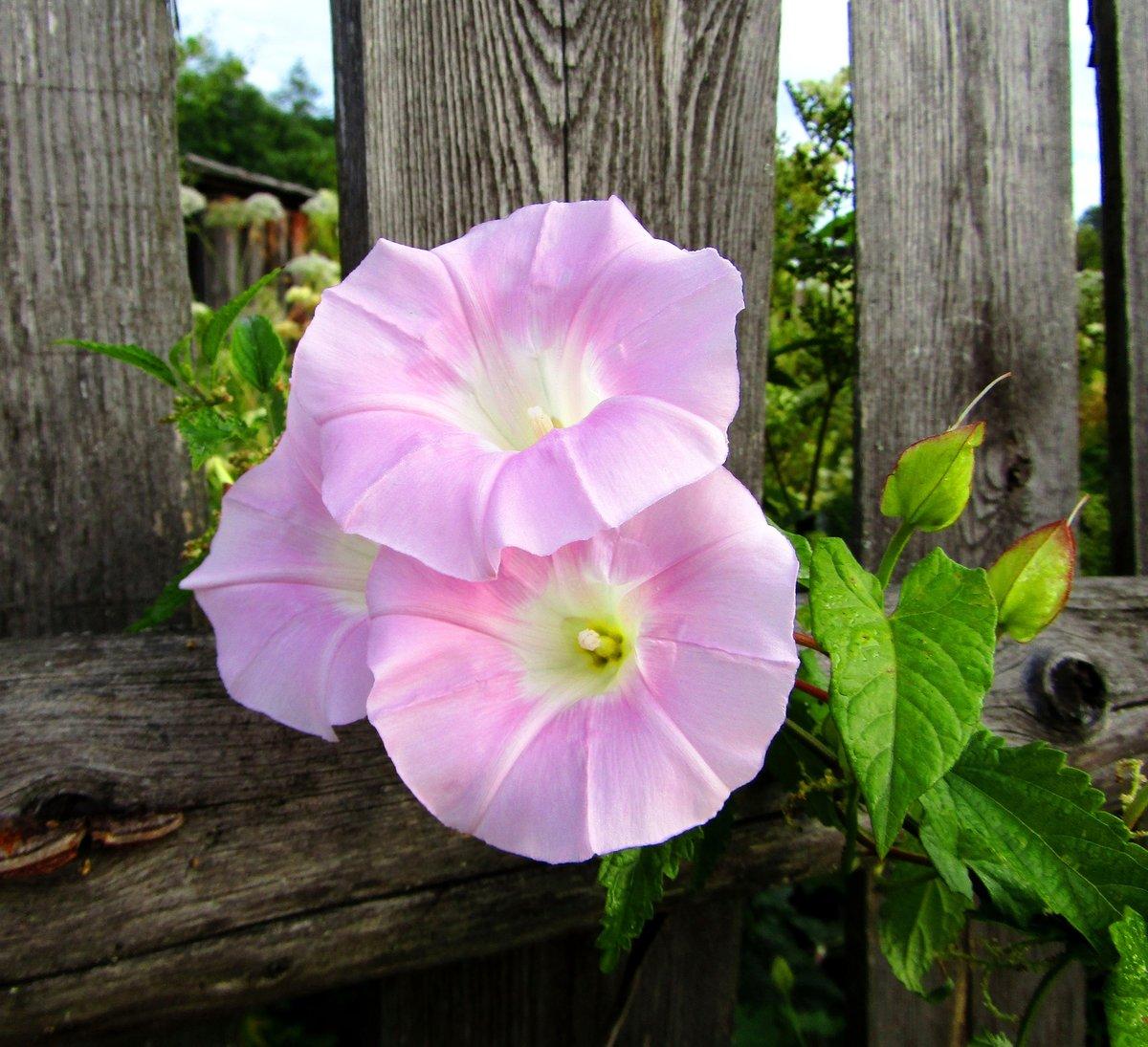 картинки цветка вьюн всего