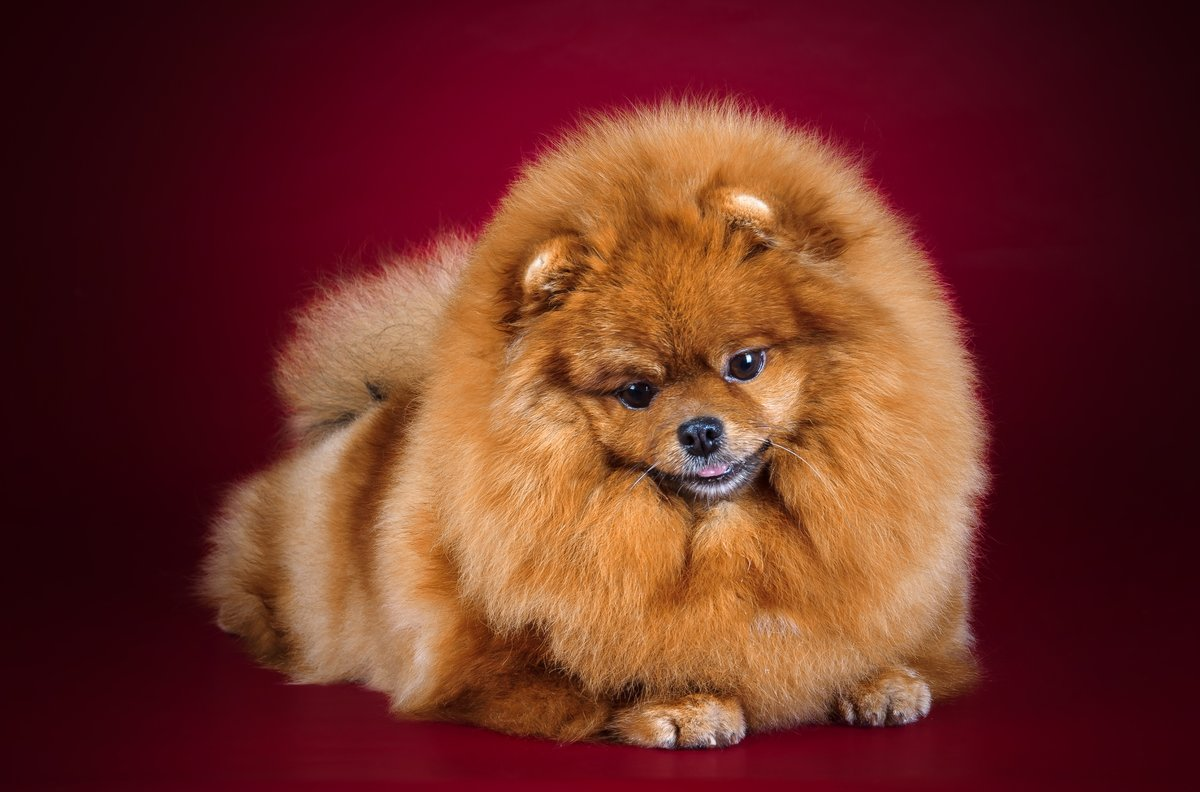 Породы пушистых собак с картинками