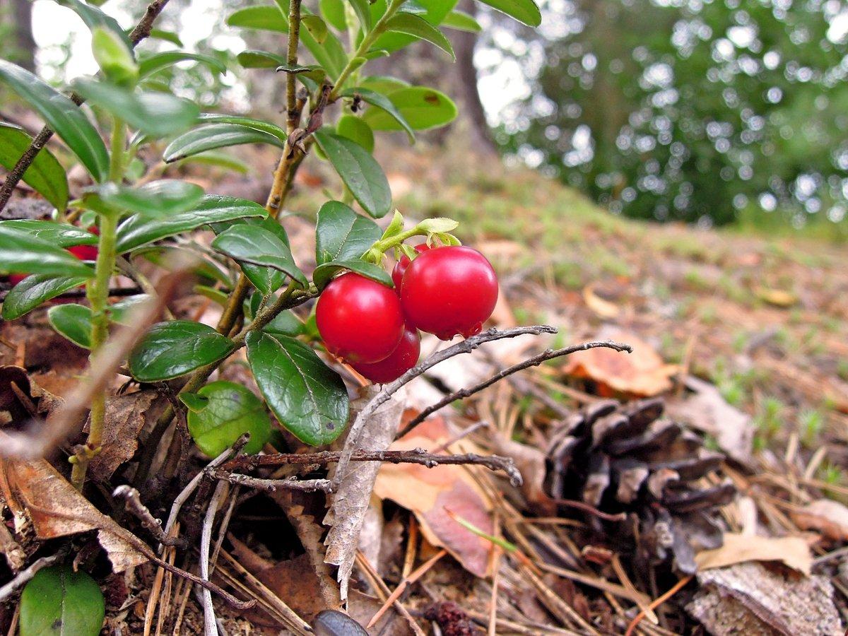 Осенняя брусника в картинках