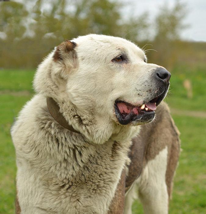 смотреть картинки про собак алабаев помогу