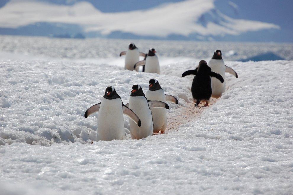 Смешные картинки пингвинчиков, днем