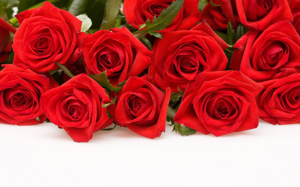 Розы красные для открытки