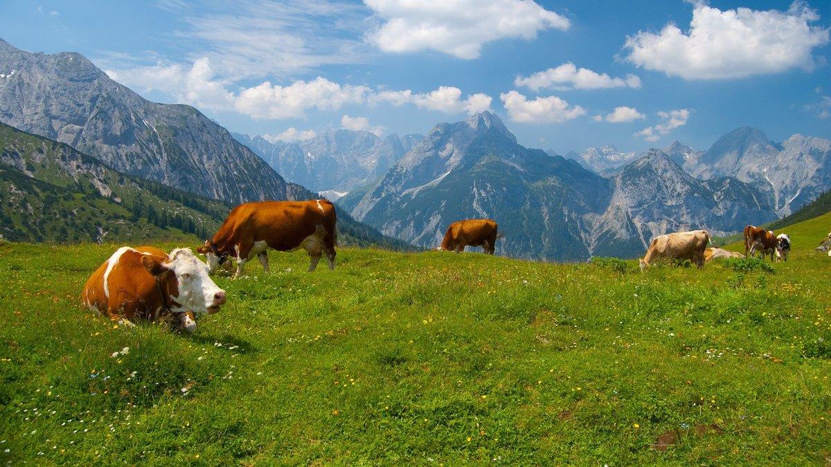 Коровы в картинках на природе, картинки путиным медведевым