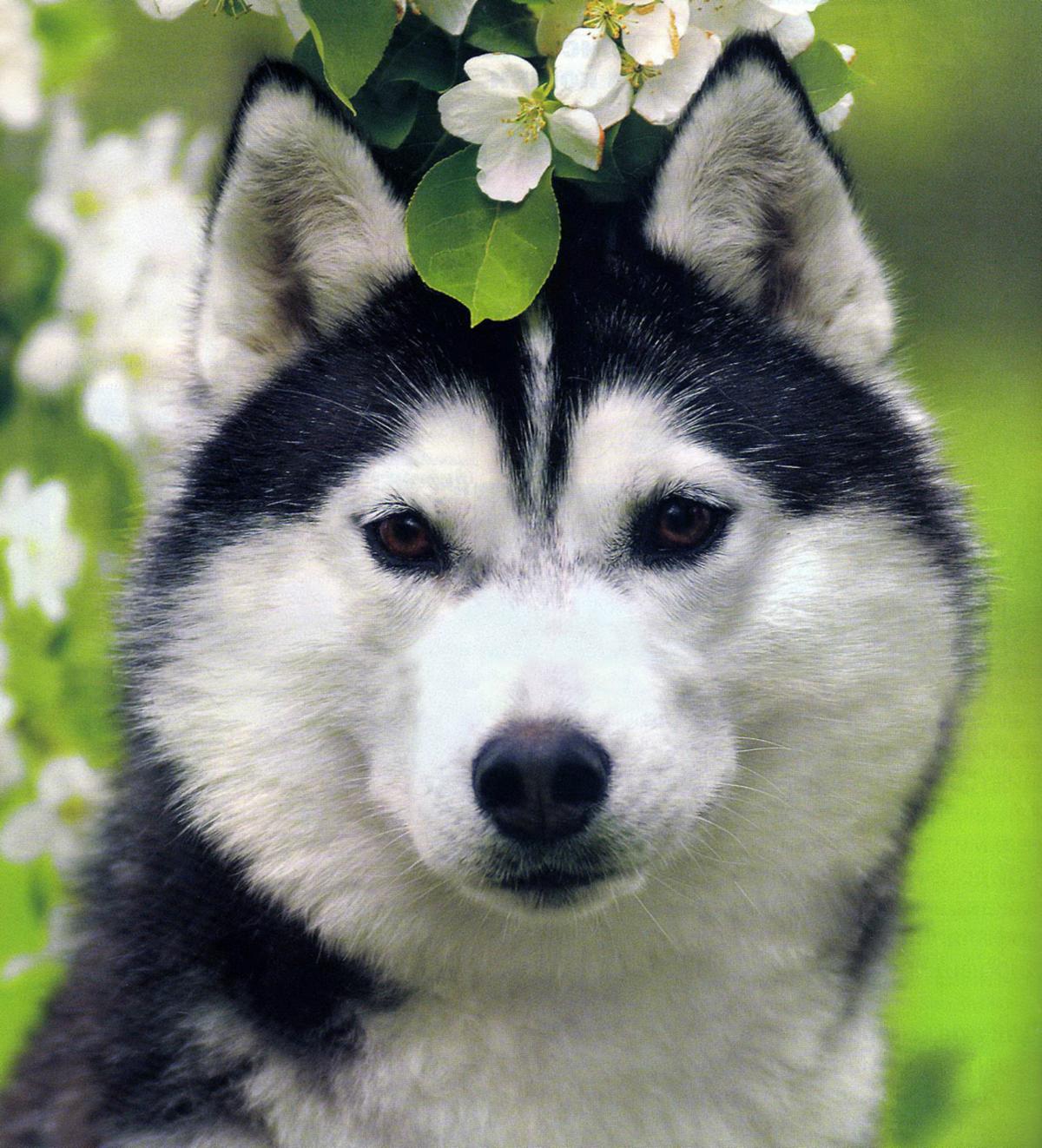 Картинки красивых собак лайки